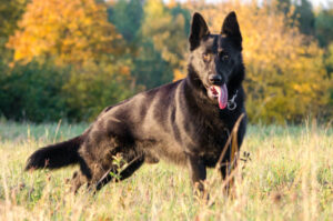 Imię dla psa owczarek niemiecki. Wybieramy imię dla samca owczarka