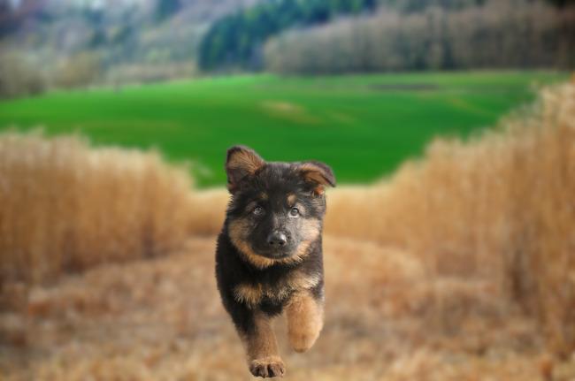 szczeniak owczarek niemiecki